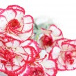 Carnation flowers — Stock Photo #37801221