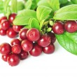 Cowberry — Stock Photo #37801303