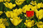 On the flowerbed of yellow tulips grow a lot and one red. — Stock Photo
