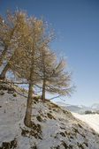 Trees in the snow — Stock Photo