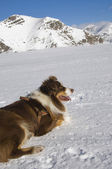 A dog in the snow — Stock Photo