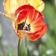 Tulips in springtime — Stock Photo