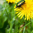 Green beetle on yellow flower — Stock Photo