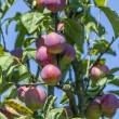 Plums ripen — Stock Photo