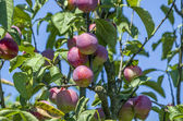 Plums ripen — Foto de Stock