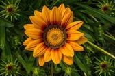 杂色菊 — 图库照片