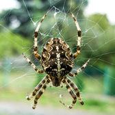 Cross piece spider — Stock Photo