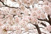 満開の桜の木. — ストック写真