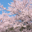 Two cherry trees in full blossom. — Stock Photo