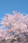 Cherry trees in full blossom. — Foto de Stock