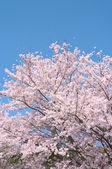 Kirschbäume in voller blüte. — Stockfoto