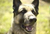 çoban köpeği kafası — Stok fotoğraf