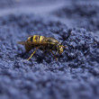 Wasp close up — Stock Photo #25255769