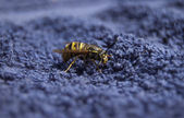 Wasp close up — Stock Photo