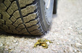 Dead toad — Stock Photo