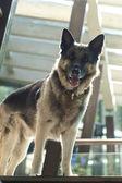 Shepherd dog on duty — Stock Photo