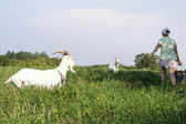 Feeding Goats — Fotografia Stock