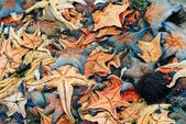 A heap of starfish — Stock Photo
