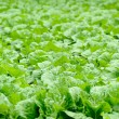 Chinese cabbage field in the country side — Stock Photo