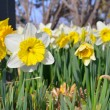Daffodils in field — Stock Photo #29887067