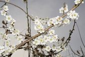 Flowers of a tree of an apricot — Stock Photo