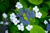 A Closeuped hydrangea flower — Stock Photo