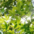 Stock Photo: Maple leaves with backlight