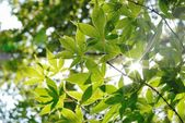 Maple leaves with backlight — Stock Photo