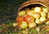 Apples, pour out of the wicker basket — Stock Photo