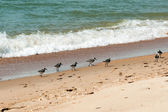 Gerbils (Calidris alba) on the shore of the sea — Stock Photo