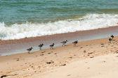 Gerbils (Calidris alba) on the shore of the sea — Stock Photo
