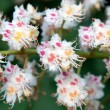 Flower horse chestnut (Aésculus) — Stock Photo