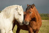 A pair of horses showing affection — Stock Photo