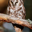 Stock Photo: Boreal owl (Aegolius funereus)