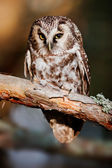 Boreal owl (Aegolius funereus) — Stock Photo