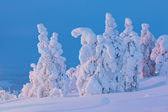 Snow covered trees at sunset — Stock Photo