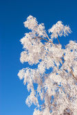 Frosted tree — Stock Photo