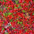Red carpet of plants in Lapland — Stock Photo