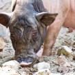 Stock Photo: Miniature pig