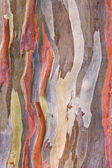 Eucalyptus bark — Stock Photo