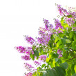 Stock Photo: Queens crape myrtle flowers