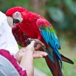 Macaw parrot on the hand — Stock Photo