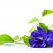 Butterfly pea on white background  — Stock Photo
