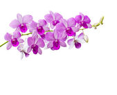 Orchids on white background — Stock Photo