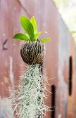 Bird nest fern — Zdjęcie stockowe