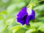 Butterfly pea — Stockfoto