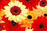 Bouquet of gerber flowers colorful — Stock Photo