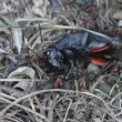 Ants killing ckricket — Wideo stockowe #20152615
