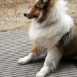 Stock Photo: Shetland sheepdog