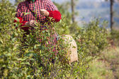 Tea worker — Stock Photo